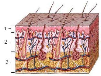 stavba kůže